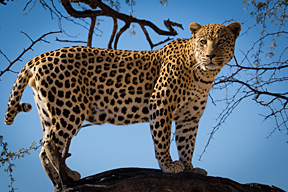 Leopard in Namibia